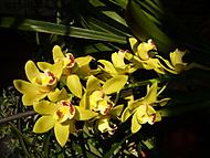 Cymbidiu žluté-mé kvetení (Anejka)