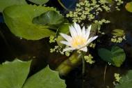 Něco kvete ve vodě (Thajsko) (Larssen)