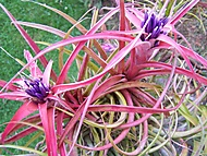 Tllandsia brachycaulos v. multiflora (bruk600)