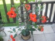 ibišek -zkouším (květiny)