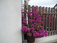 bouganvilla vypěstovaná z řízku, stáří 4 roky (bouga)