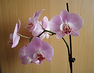 kveten_orchidek_k_21_1_2013_025 (jaja28)
