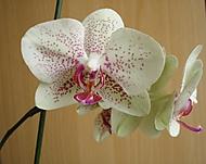 kveten_orchidek_k_21_1_2013_033 (jaja28)