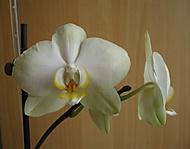 kveten_orchidek_k_21_1_2013_036 (jaja28)