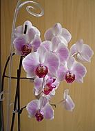 kveten_orchidek_k_21_1_2013_045 (jaja28)