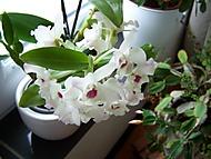 Dendrobium nobile (bruk600)