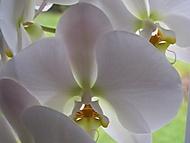 phalenopsis (bruk600)