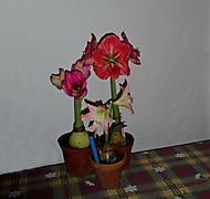 první letošní skupinka rozkvetlách amarylek (Karen Válková)