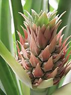 ananas - rosteme jako z vody (dama 55)
