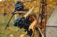 Těsně před vinobraním (Larssen)