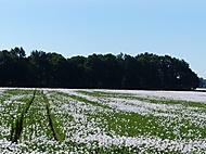 makové pole (bomila)