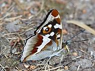 křídla motýlí (bomila)