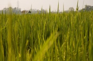Pohled skrz rýžové pole (Thajsko) (Larssen)