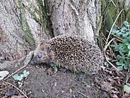 První ježek letos (Naďka)
