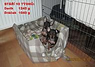 Pražský krysařík štěňátka 10 týdnů (Karen Válková)