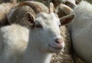 Šumavská koza (Larssen)