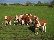 Dánské krávy (Larssen)