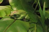 Žába :) (Larssen)