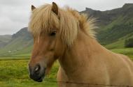 Islandský kůň (Larssen)