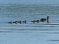 kačky na rybníku (bomila)