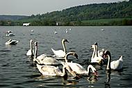 labutě na rybníku (bomila)
