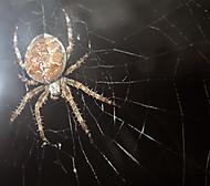 Pavouk (miho)