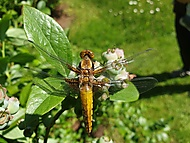 čerstvě vylíhlá samička vážky ploské Libellula depressa (bouga)