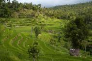 Rýžové zahrádky (Larssen)