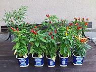 10 druhů chilli papriček (jivjiv)