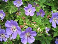 detail květu kakost Rozanne (bouga)