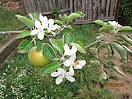 zakrslá jabloň - dozrálo jediné jablíčko (Karen Válková)